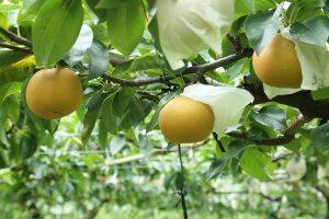 梨の品種秋月